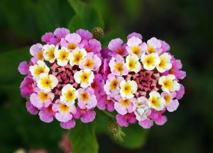 Lantana splashes color all over my neighborhood