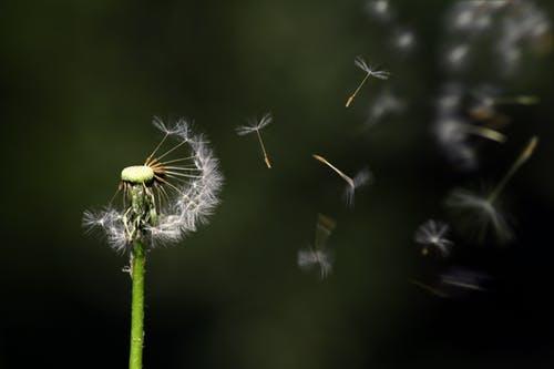 Fly away dandelion